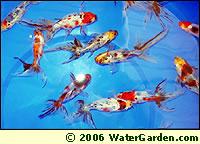 Calico Goldfish photo