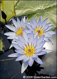 Blue Beauty waterlily photo